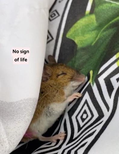 Женщина нашла мёртвую мышь и решила воскресить её. Таким методам спасения аплодировал бы сам доктор Айболит