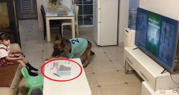 Хозяйка сказала псу встретить курьера (да!), и собакен не подкачал. Это человек в шкуре животного, решили люди