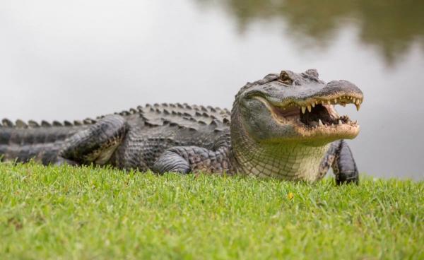 Аллигатор попытался съесть черепаху, и итог - позор для хищника. Зато мем (спустя три года) вышел что надо