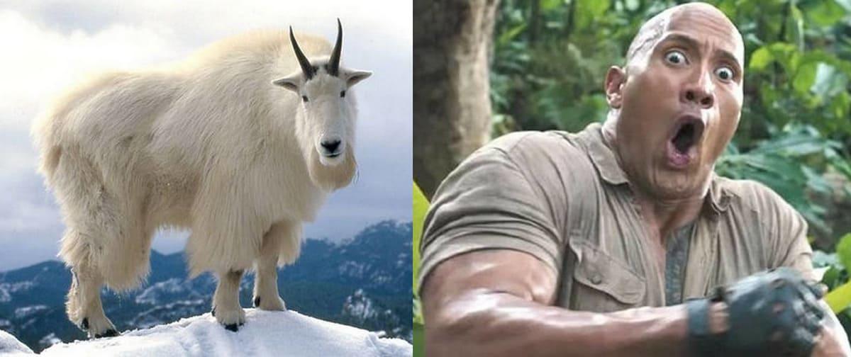 Массивная коза попала на видео и удивила людей габаритами. Дуэйн Джонсон-копытное выглядел бы именно так