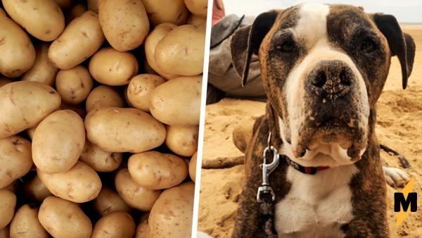 Женщине копала грядки и узнала, что ее пес – картофелина. Вроде просто овощ, но есть его на ужин семья не стала