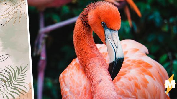 Зоопарк показал, как едят фламинго. Ради пищи они переворачивают всё с ног на голову, и это даже не метафора