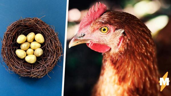 Несушка доказала фермерше: куры - потомки динозавров. Она снесла гибрид яйца и дыни и поставила учёных в тупик
