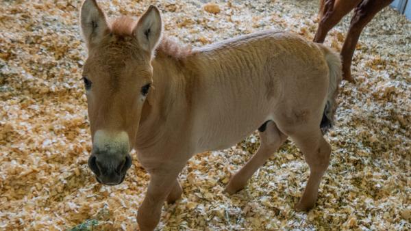 Учёные впервые после овечки Долли клонировали животное – лошадь Пржевальского. И при виде малыша людям страшно