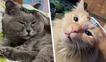 Люди расчёсывают котиков зубной щёткой, и пушистики ломаются. Но ничего плохого, только наука