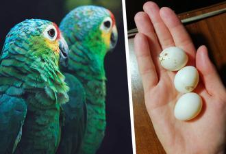 Попугаи отказались от своих птенцов-малышей, и девушка заменила им мать. Сложно? Очень даже, но всё не зря