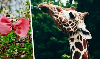 В твиттере обсуждают, как жирафы должны носить бабочку. Ответ дали знатоки моды и «Конь БоДжек»