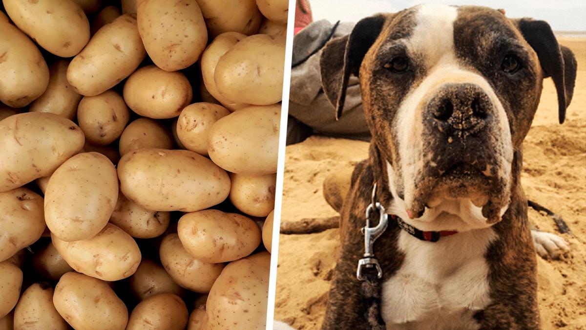 Хозяйка копала грядки и узнала, что её пес – картофель. Сбой дала не матрица, а природа, но по фото не скажешь