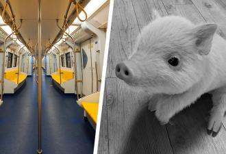 Заехал как-то в метро минипиг на мяче, а люди сломались. Ведь осознать видео сразу не вышло