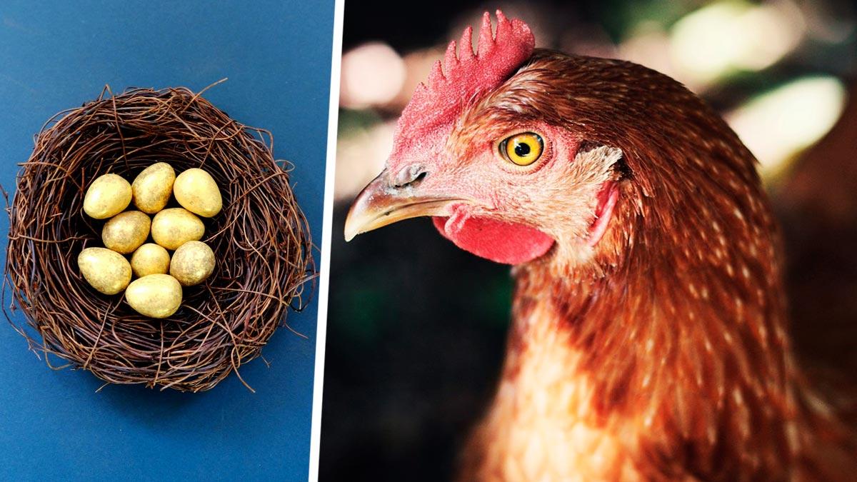 Несушка доказала фермерше: куры — потомки динозавров. Она снесла гибрид яйца и дыни и поставила учёных в тупик