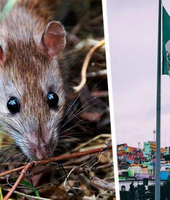 Сплинтер, ты или это? Рабочие в Мексике вытащили из канализации огромную крысу, и люди не были к такому готовы