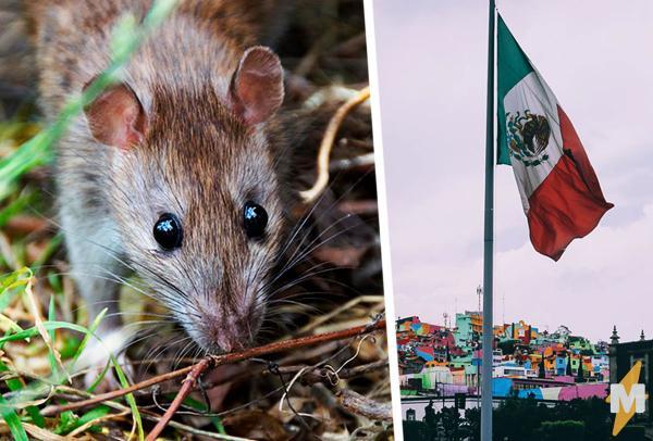 Пугающая гигантская крыса обнаружена в Мексике. Мексиканский Рататуй стал поводом насмешек в сети