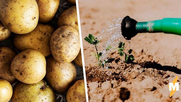 Девушка вырастила картошку, и это микропобеда. С таким урожаем можно стать гуру только в моллекулярной кухне