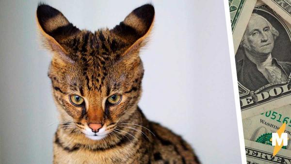 Семья отдала состояние за кота Саванна, но зря. Вскоре стало понятно: он совсем не тот, за кого себя выдаёт