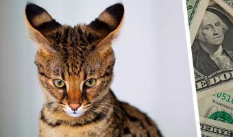 Супруги отдали состояние за кота, но пожалели, что принесли его в дом. Зверь был не тем, за кого его приняли