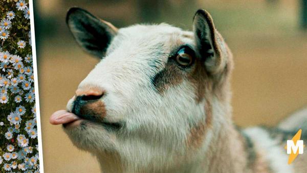 Одна коза возродила туризм в целом регионе. И ей для этого понадобилось использовать только половину копыт
