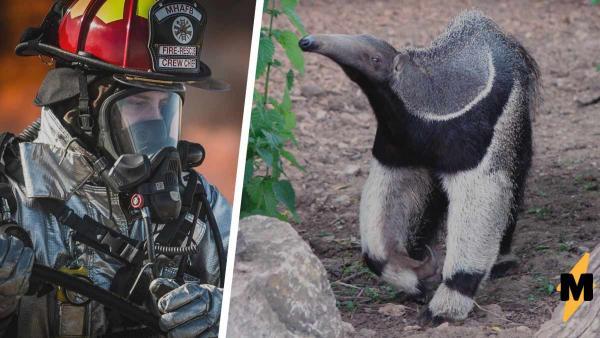 Пожарный муравьеду товарищ. Мужчины решили спасти зверька, но тот испугался и случайно их их насмешил