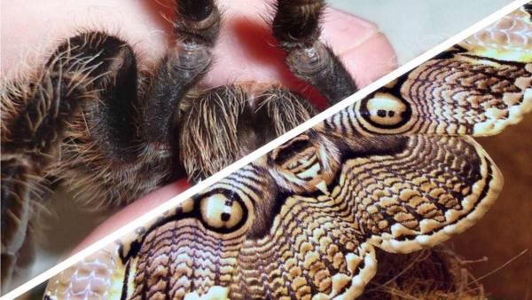 Парень сфоткал крылатого тарантула, а с ним и повод пойти к психологу. Но хуже то, что живёт он не в Австралии