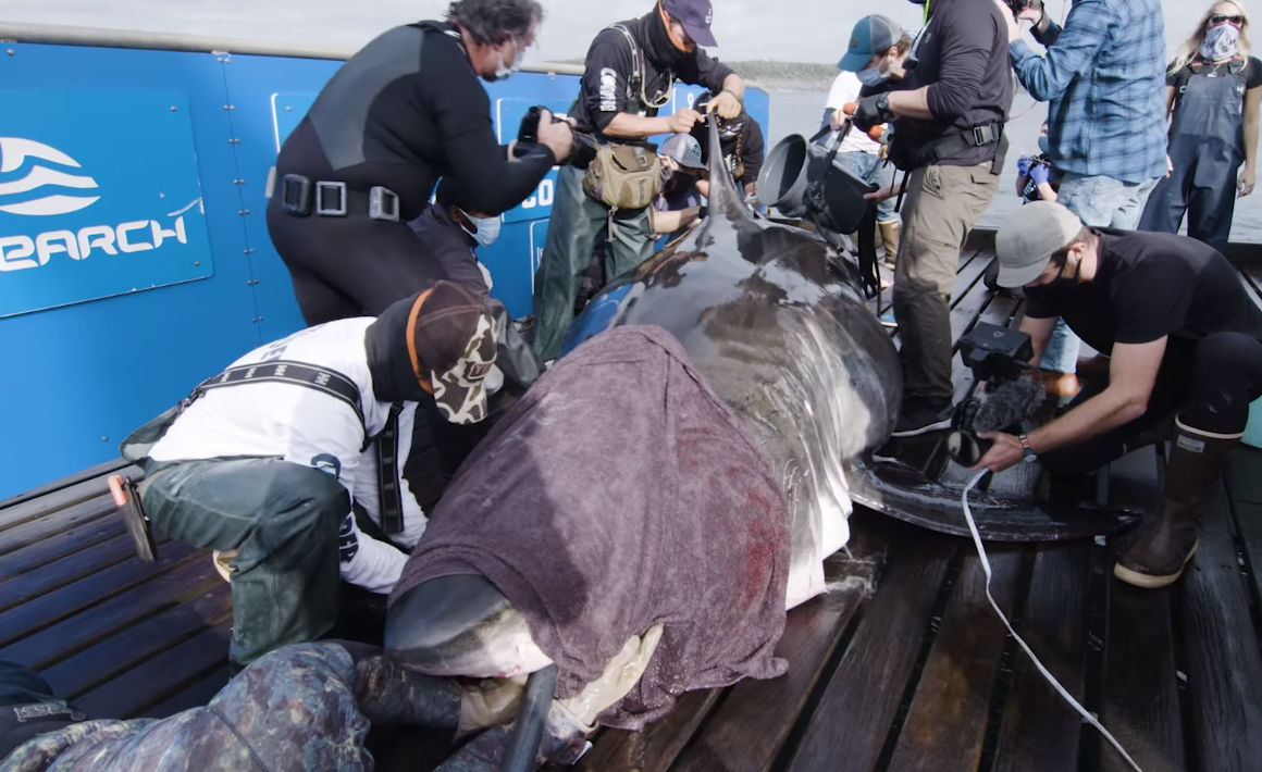 """Учёный поймали акулу-монстра - самую крупную девочку в океане. Но оказалось, """"Челюсти"""" всё сильно преувеличили"""