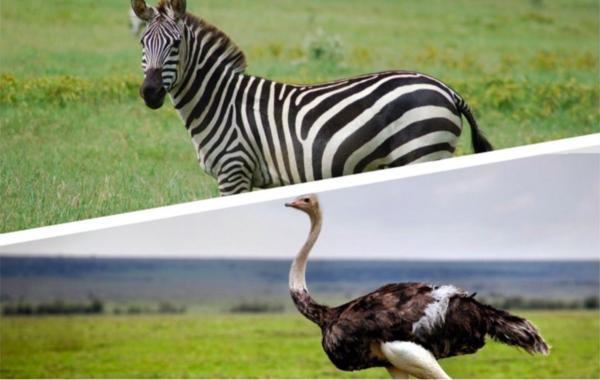 Страус убедил людей выпустить его из зоопарка. Всего-то нужно было заставить их думать, что они сошли с ума
