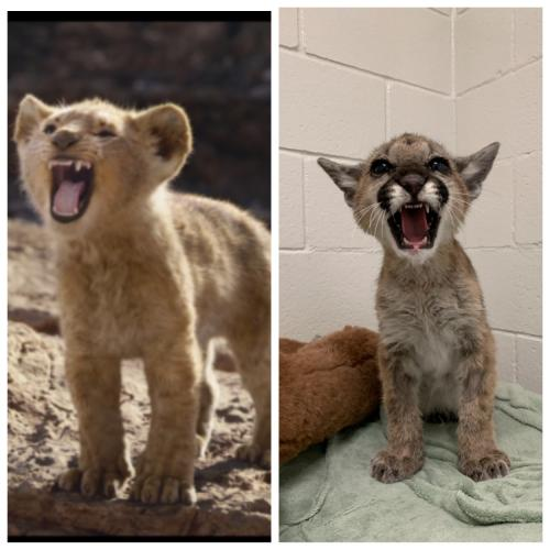 """Спасатели нашли обессиленного котёнка пумы, но когда он окреп - ахнули. Теперь он копия Симбы из """"Короля Льва"""""""