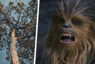 Люди услышали пение на дереве, но это были не птицы. Зато вопли оказались знакомы всем фанатам «Звёздных войн»