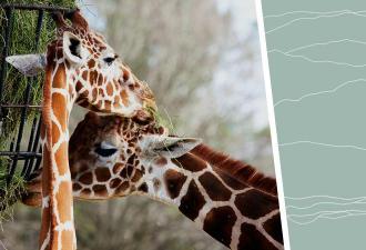 Люди увидели, как жирафы едят траву, и к этому жизнь их не готовила. Поза животных доказала: растяжимо всё