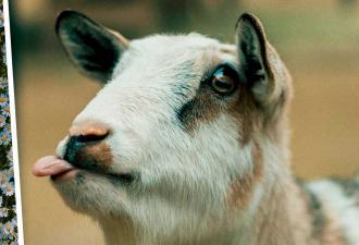 Одна коза возродила туризм в целом регионе Индии. Для этого понадобилось использовать только половину копыт