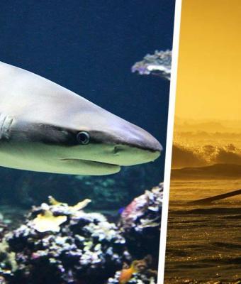Сёрфер не заметил большую акулу, которая за секунды подплыла к доске. Но на помощь парню пришли технологии