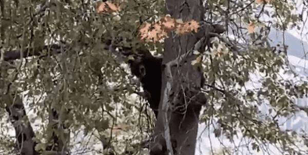 Люди услышали пение на дереве, и это были не птицы. Но песня оказалась знакомой, правда, в исполнении Чубакки