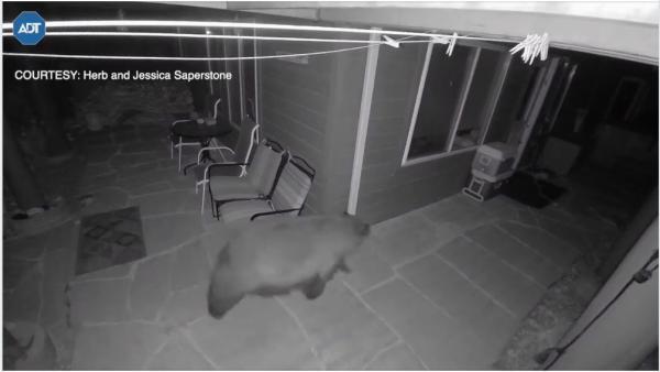 Пришли как-то медведь, пума и два оленя к человеку. Это не басня, а видео из США, и к животным много вопросов