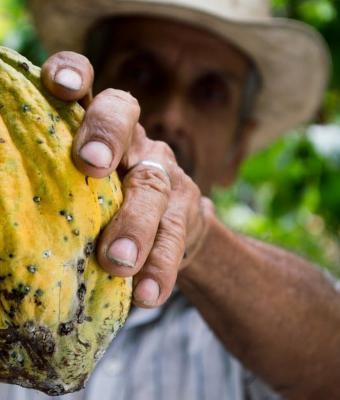 Парень показал на видео, что внутри плода какао-дерева. Сладкоежки уверены: больше есть шоколад они не будут