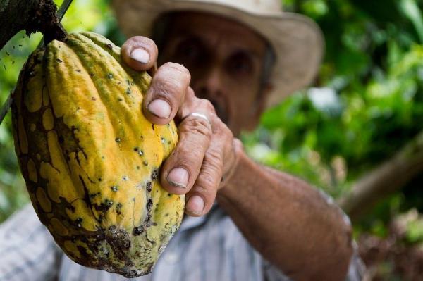 Парень показал, что внутри плода какао-дерева. Сладкоежки уверены: больше есть шоколад они не будут