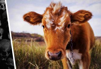 На ферме родился телёнок, а его батя — Люцифер. По внешности животного видно, что он любит Карателя и Slipknot
