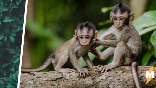 Фотограф умилялся, как одна обезьяна спасает другую, но ошибся. Примат выполнял лучший человеческий пикап-трюк