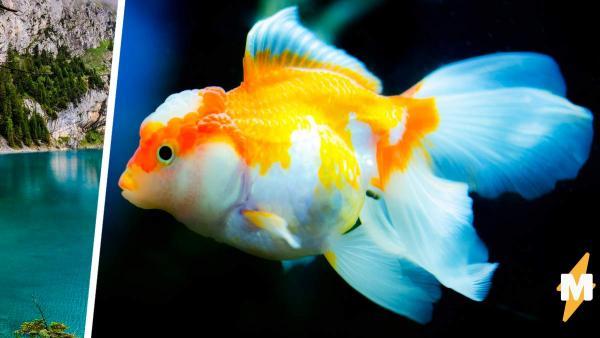Хозяин выпустил рыбку на волю, но не всё учёл. Гигант с человеческими зубами чуть не довел рыбака до инфаркта
