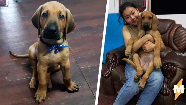 Семье подарили щенка, но он оказался не тем, за кого себя выдавал. Судя по размеру пса, человеки - его питомцы