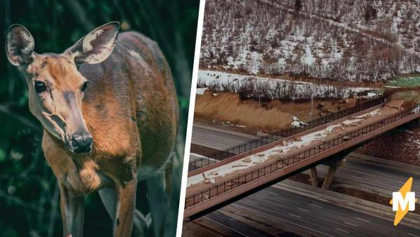 Водители считали животных глупыми, а зря. Звери будут поумнее людей - теперь у них есть свой мост над трассой