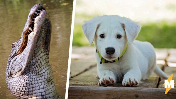 Аллигатор хотел съесть щенка, но нарвался на героя. И этот мужчина показал хищнику, где рептилии зимуют