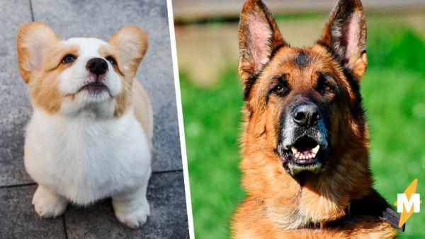 У мелкого пса голова овчарки, и это не шутка эволюции. Такая собака существует, а людям её очень жаль