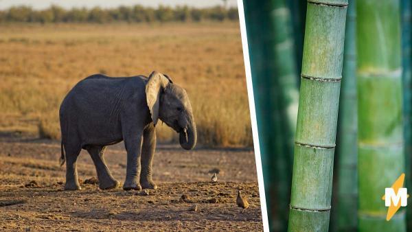 Слонёнка поймали за поеданием тростника. Он попытался в стелс и не смог - но зато влюбил в себя тысячи людей