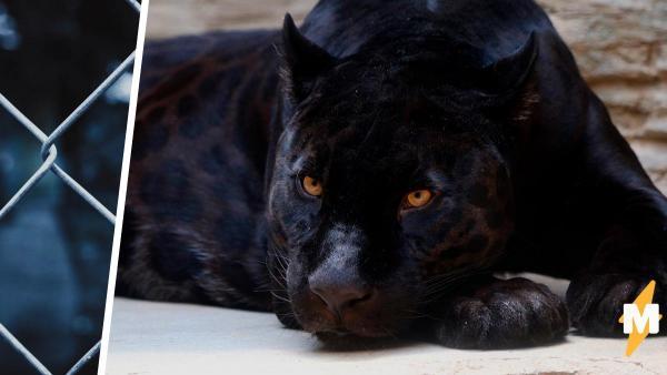 Мужчина заплатил за контакт с пантерой и пожалел. Трёпку от кошки он запомнит надолго, и людям его не жаль