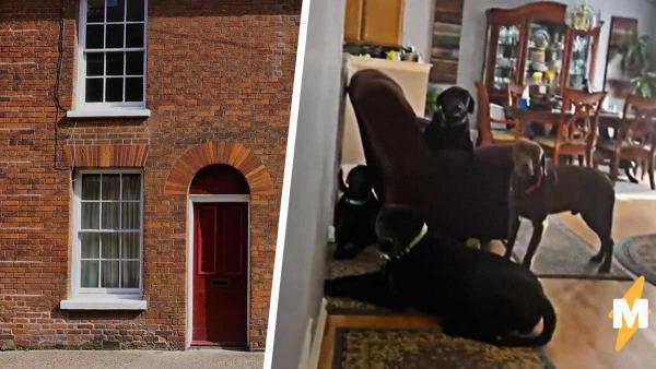 Хозяйка показала, что четыре лабрадора делают в одиночестве дома. Видео возненавидят соседи и оценят хоровики