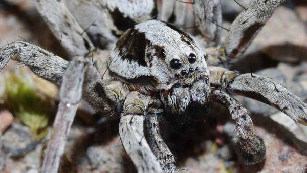 Учёный нашёл гигантского паука-лисицу и был рад. Это не шутка на Хеллоуин, ведь «красавец» вымер 17 лет назад