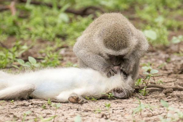 Фотограф умилялся, как одна обезьяна спасает другую, не ошибся. Ведь в хитрости люди недалеко ушли от приматов