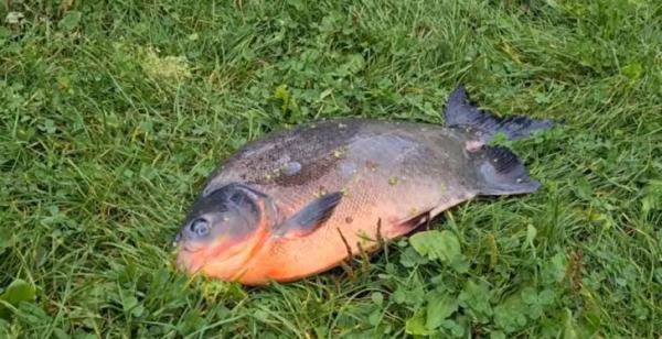 Хозяин выпустил аквариумную рыбку, но кое-что не учёл. Она стала гигантом и чуть не довела рыбака до инфаркта