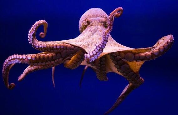Осьминог пытался регенерировать, но система дала сбой. Лишнее щупальце сделало из моллюска настоящего мутанта
