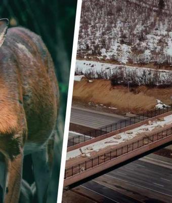 Водители считали животных глупыми, а зря. Звери будут поумнее людей — теперь у них есть свой мост над трассой