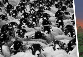 Овца из Minecraft существует и пасётся в Шотландии. Босс мира кучерявых выглядит так, и он сам вас пострижёт