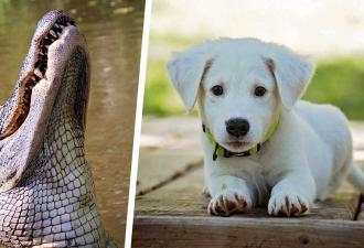 Аллигатор схватил щенка и готовился вкусно отобедать. Но мужчина-герой показал рептилии, кто здесь босс